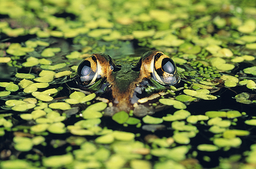 Leopard Frog in Duckweed, Florida