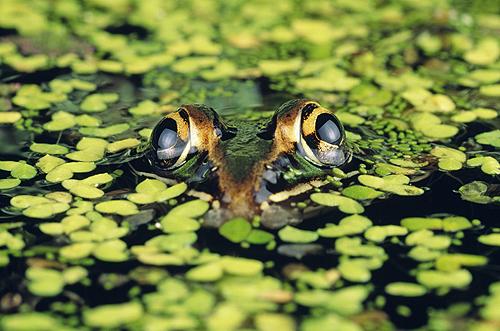 Leopard Frog in Duckweed, Florida