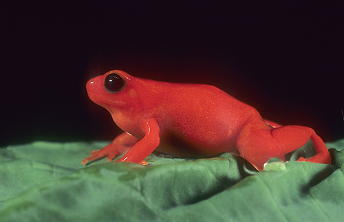 Mantella Frog, Red Phase, Madagascar