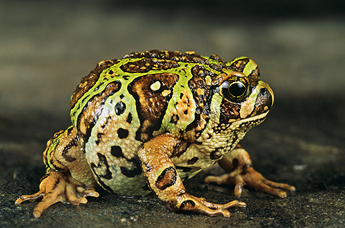 Marbled Hopper, Madagascar