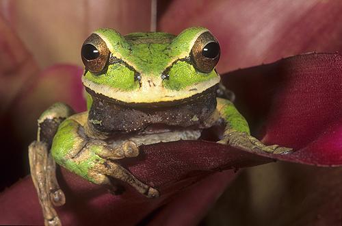 Masked Crossed Banded Tree Frog, Smilisca...