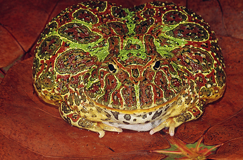 Ornate Horned Frog, Argentina