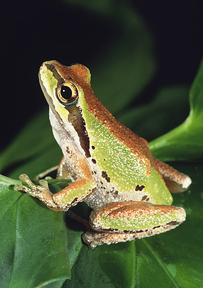 Pacific Tree Frog, Western USA