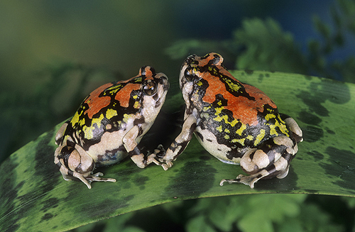Red Rain Frogs, Scaphiophryne gottlebei,...