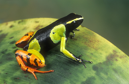 Painted Mantella Frog, Madagascar