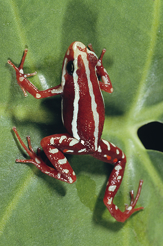 Phantasmal Poison Arrow Frog, Epipedobates...