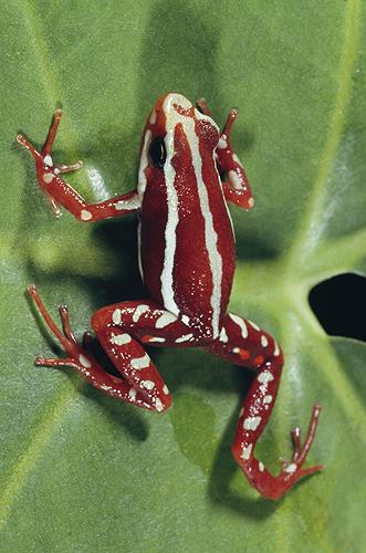Phantasmal Poison Arrow Frog, Epipedobates...