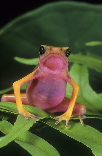 Pink Bellie Harlequin Frog