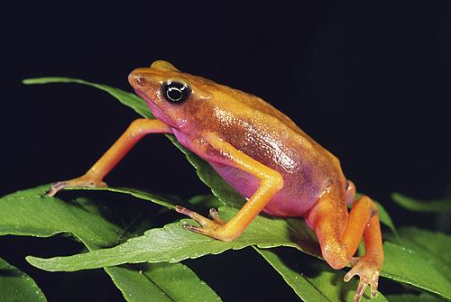 Pink Belly Harlequin Frog, Costa Rica