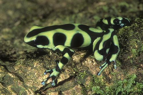 Poison Arrow Frog, Dendrobates auratus, Costa...