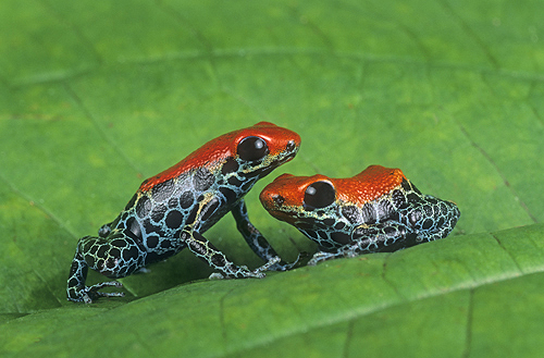 Poison Arrow Frogs, Dendrobates reticulatus,...