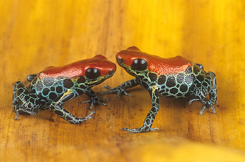 Poison Arrow Frogs, Dendrobates reticulatas,...