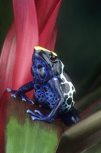 Poison Arrow Frog, Dendrobates tinctorius,...