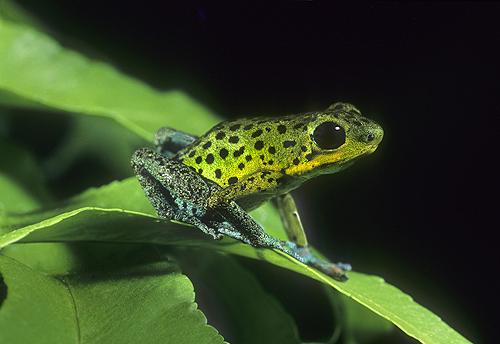 Rare Poison Arrow Frog, Dendrobates pumilio,...
