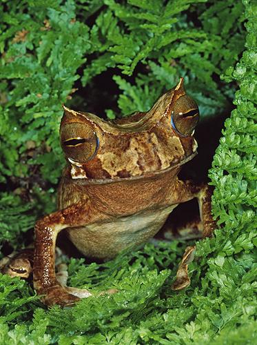 Rare Horned Marsupial Frog, Gastrotheca cornuta,...