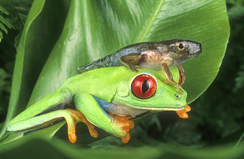 Red Eyed Tree Frog Adult And Tadpole, Costa...