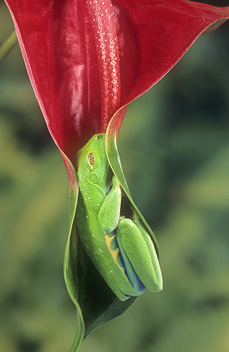Red Eyed Tree Frog Asleep in a Leaf, Costa...
