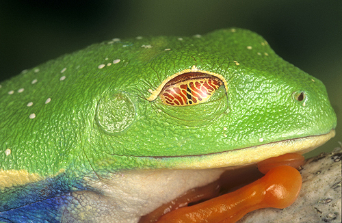 The Third Eye Lid Called a Nictitating Membrane...