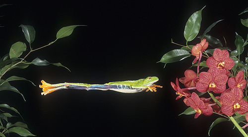 tree frog jumping. Red Eyed Tree Frog Jumping,