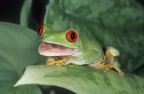 Red Eyed Tree Frog With Mouth Open, Costa...