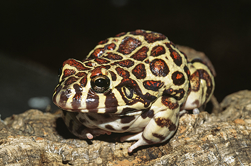 Red Spotted Burrowing Frog, Argentina