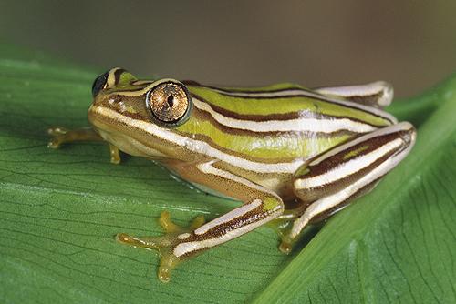Primas africanas: las Mantellas y otras allegadas Reed-frog-heterixalus-rutenbergimadagascar-cropped