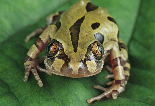 Running Frog, Tropical Africa