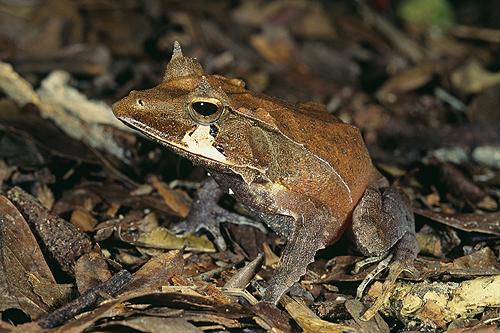 Solomon Island Eyelash Frog