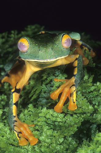 Splendid Leaf Frog, Agalychnis calcarifer,...