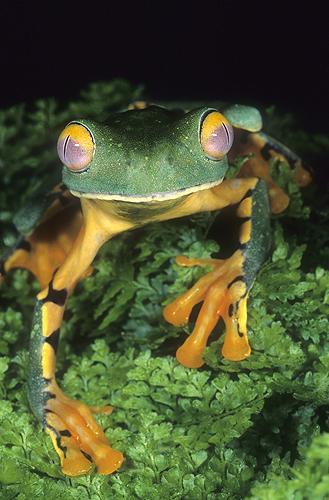 Splendid Leaf Frog, Agalychnis calcarifer,...