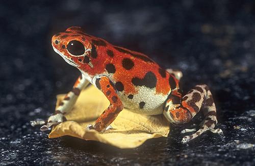Strawberry Poison Arrow Frog, Dendrobates...