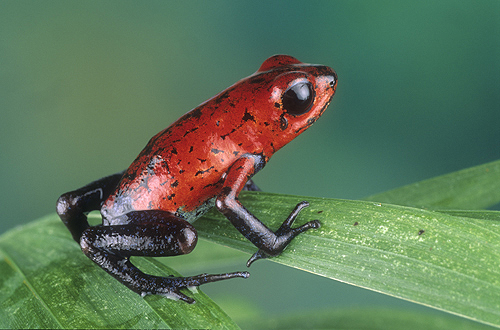 Strawberry Poison Arrow Frog, Costa Rica