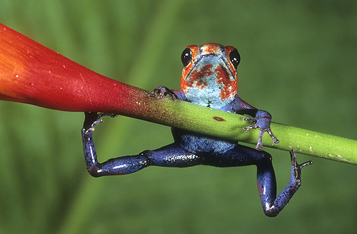 Strawberry Poison Frog, Costa Rica