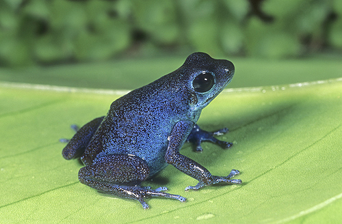 Strawberry Poison Arrow Frog, Blue Form,...