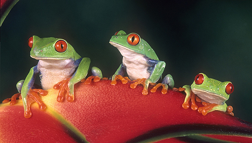 Three Red Eyed Tree Frogs on a Heliconia...