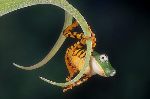 Tiger Striped Monkey Frog, Phyllomedusa tomopterna,...