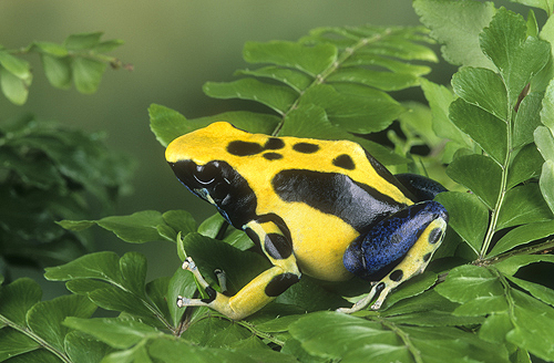 Yellow Back Dying Frog, Dendrobates pumilio,...