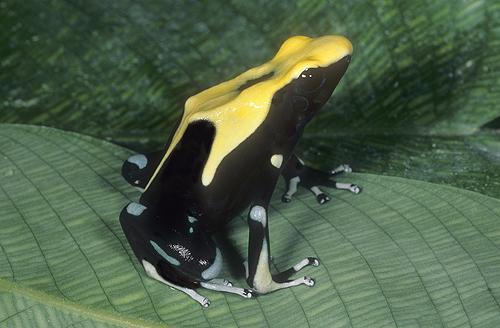 Yellow Back Poison Arrow Frog, D. ticnctorius,...