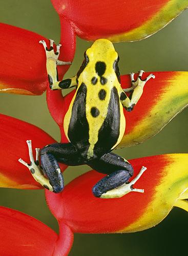 Yellow Back Poison Frog, Dendrobates tinctorius,...