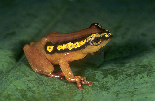 Yellow Masked Reed Frog