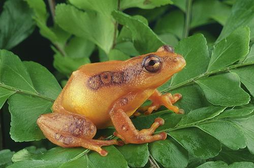 Yellow Tree Frog, Tanzania, Africa