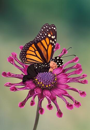 Leah, Beautiful Little Monarch