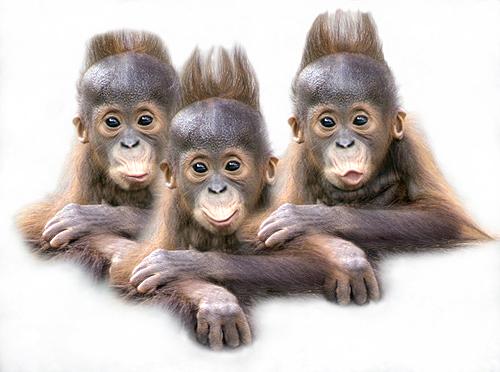 Baby Orangutan Triplets