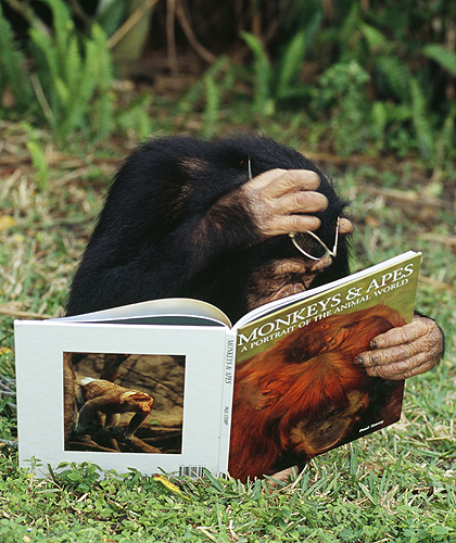 Chimpanzee Looking at a Primate Book