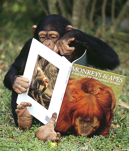 Chimpanzee Pointing at His Favorite Picture...