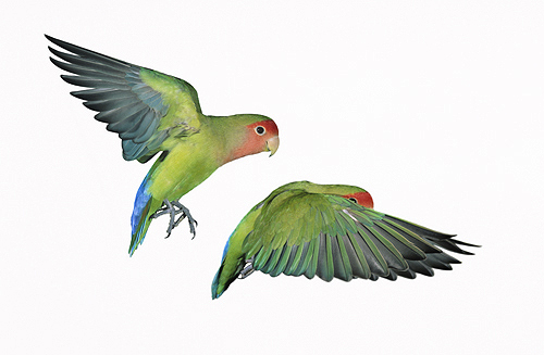 Peach Faced Love Birds in Flight
