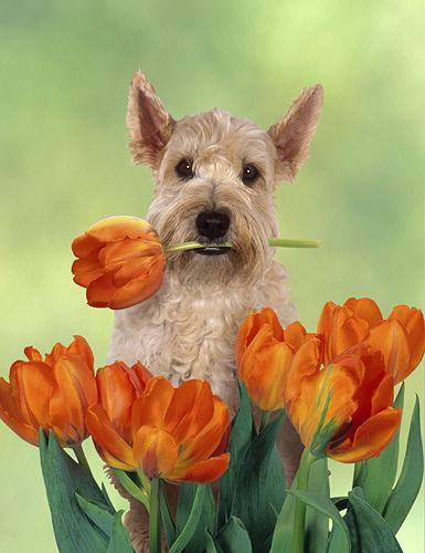 Wheaten Terrier in Tulips