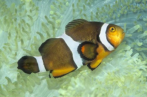 Clown Fish in a Sea Anemone