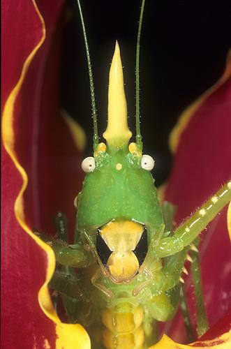 Cone Head Katydid, Rainforest Costa Rica