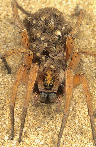 Female Wolf Spider Carrying Babies on Her...